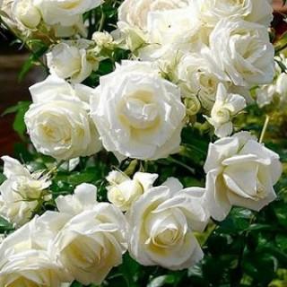 Роза Белая плетистая в кашпо