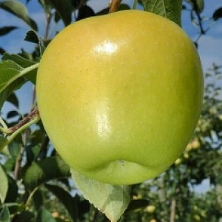 Яблоня Голден  Делишес Саженец в кашпо 3-х летний