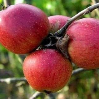 Яблоня Супер Прекос Саженец в кашпо 3-х летний