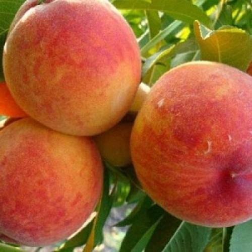 Персик Золотой Юбилей купить с доставкой из Краснодара