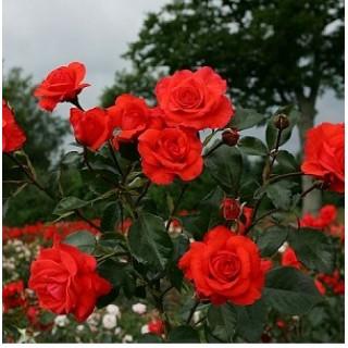 Роза Салита плетистая в кашпо