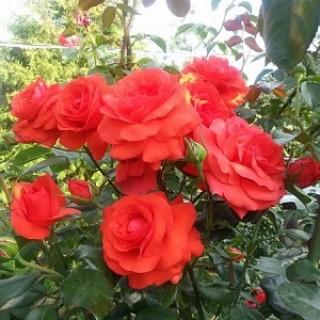 Роза Салита ЗКС