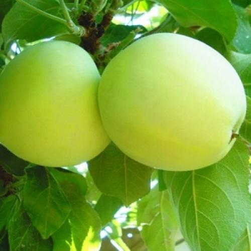 Яблоня Белый налив купить саженцы от Питомник растений