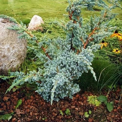 Можжевельник чешуйчатый Мейери купить саженцы от Питомник растений