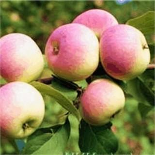 1-06 Яблоня Подарок Садоводам (Осенний сорт)