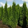 Туя Западная Смарагд купить саженцы от Питомник растений